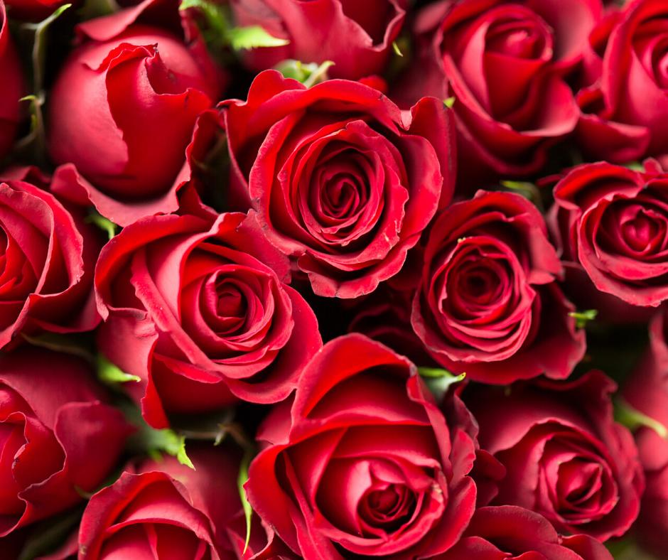 Hoa hồng là món quà mà nhiều cánh mày râu lựa chọn để dành tặng