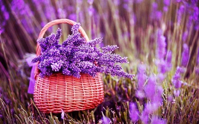 Hoa Lavender biểu tượng cho may mắn, thành đạt.